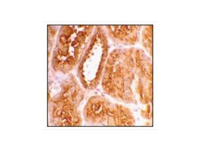 Anti-ACE2 antibody produced in rabbit